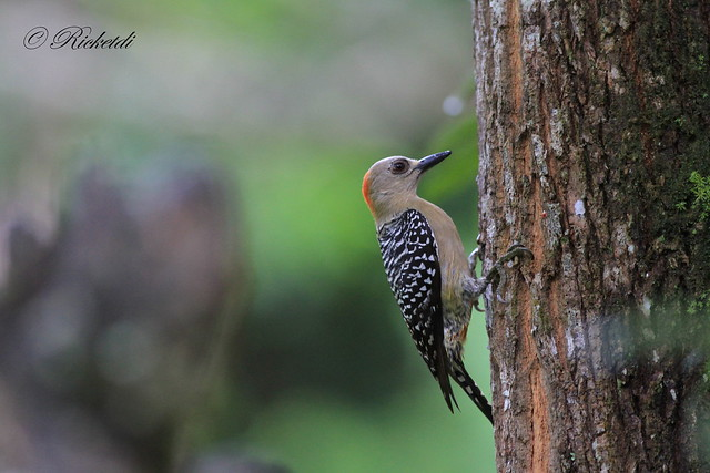pic à couronne rouge /red-crowned woodpecker (Fem)