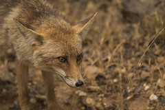 animal, mammal, jackal, grey fox, fauna, red fox, kit fox, coyote, wildlife,
