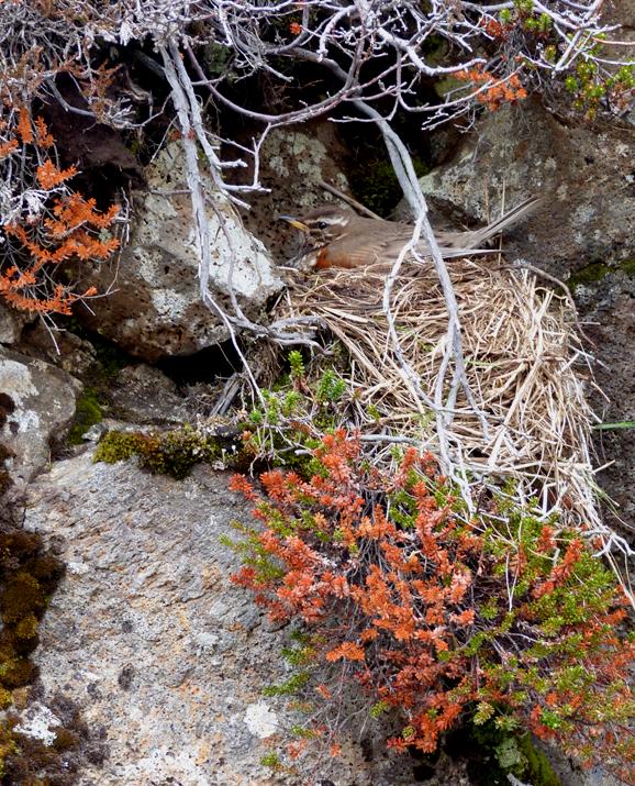 Redwing on nest