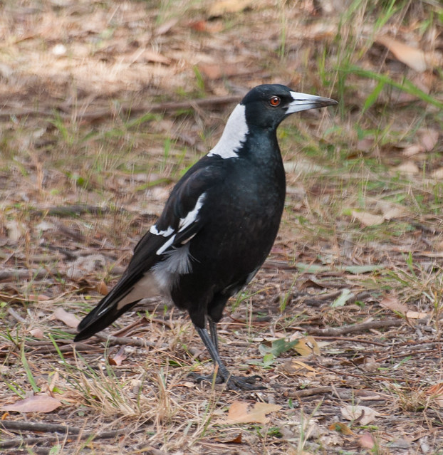 a60-magpie
