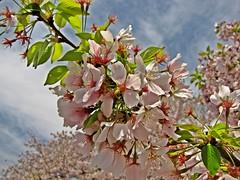 Cherry Blossom Festival, April 13, 2014