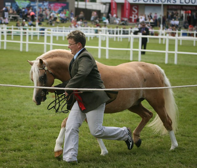 Welsh Ponies In Hand