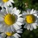Day's Eye (Daisy) by InnesAlison