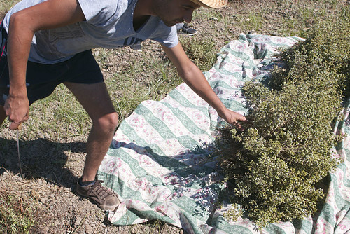 harvesting oregano