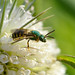 Small photo of Metallic Green Bee (Agapostemon sp.)
