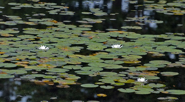 Darkwater Still with Lilies