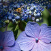 梅雨の晴れ間に腹ごしらえ - The hoverfly is sucking nectar from hydrangeas -
