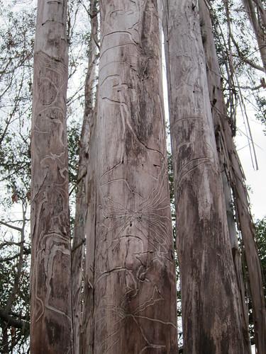 pacifica eucalyptus closer