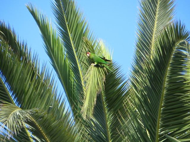 Point Dume parrots