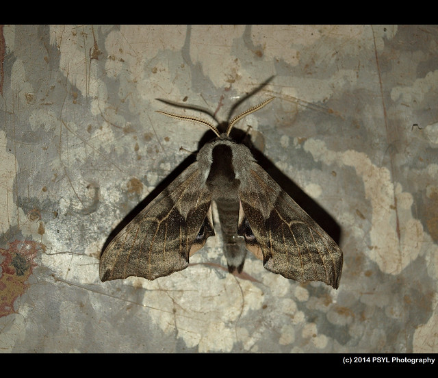 One-eyed Sphinx (Smerinthus cerisyi)