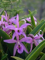 cattleya labiata, flower, plant, laelia, flora,
