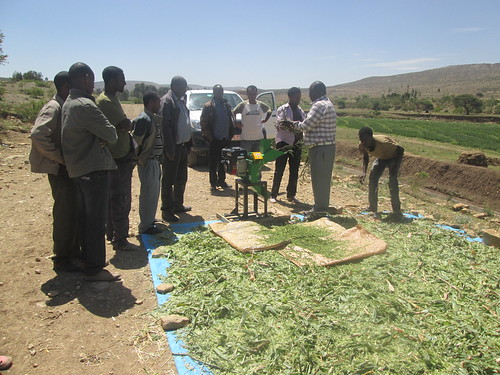 Ato Nurhussien chopping maize for making silage using air tight plastic bags (Photo:ILRI\ Yayneshet Tesfay)