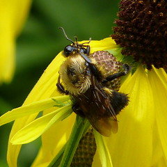 Bumblebee scratching its head
