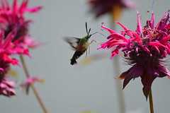 Hummingbird Moth at Penitentiary Glen