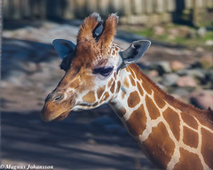 So beautiful giraff