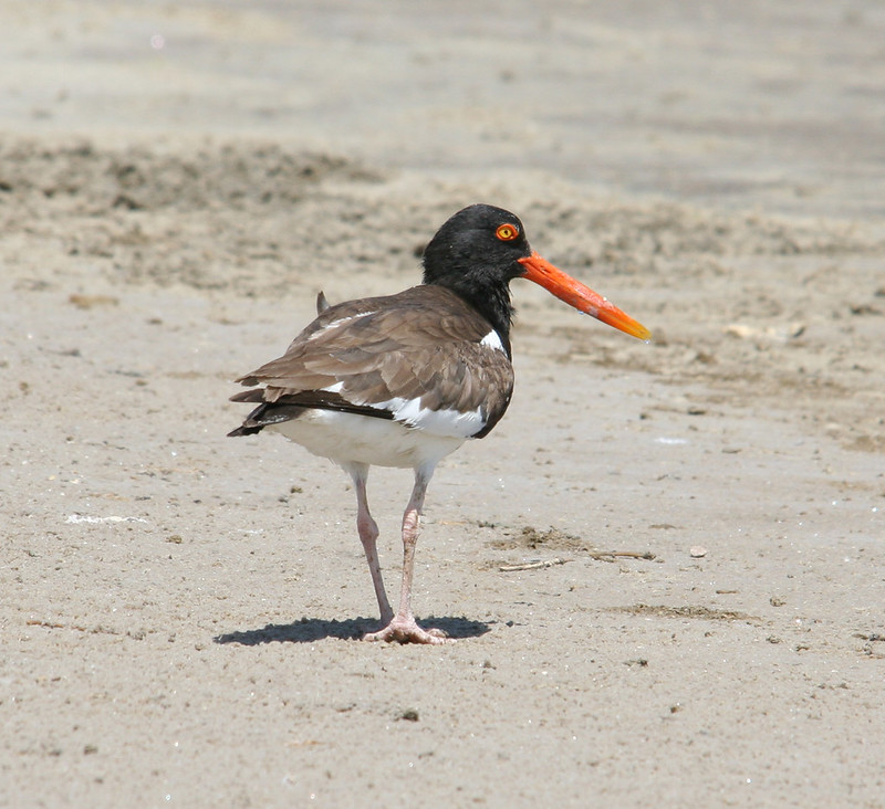 American Oystercatcher on Mustang Island, near Port Aransas,Texas