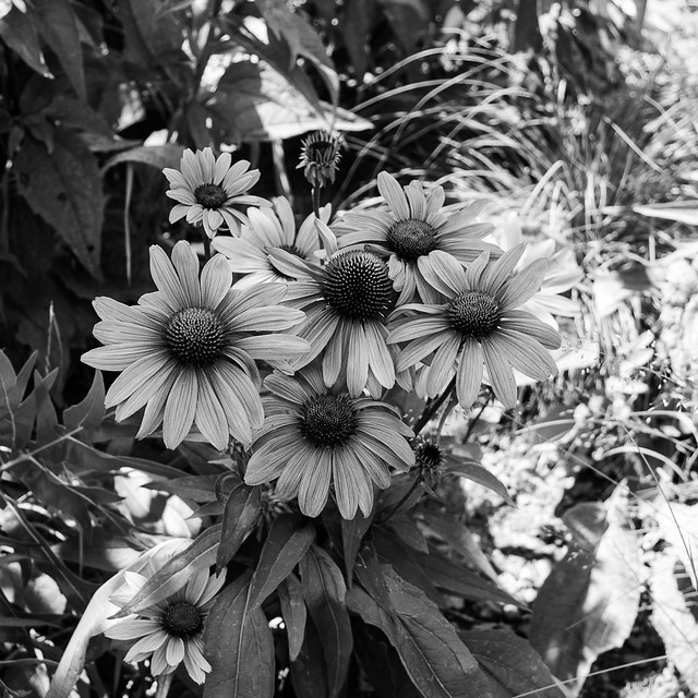 Cone flowers on the High Line
