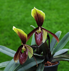 Paphiopedilum Diana's Winter Day