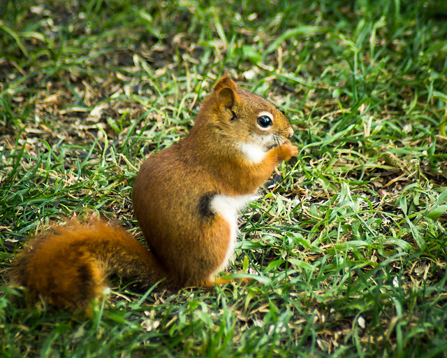 Squirrel, Red Squirrel, Eating, Grass, Adorable, Cute