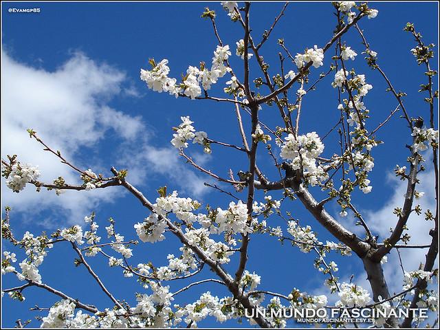 Cerezos en Flor, Valle del Jerte. España.