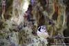 Lophophanes cristatus