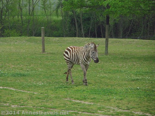 Zebra in the African exhibit at the Cape May Zoo, New Jersey
