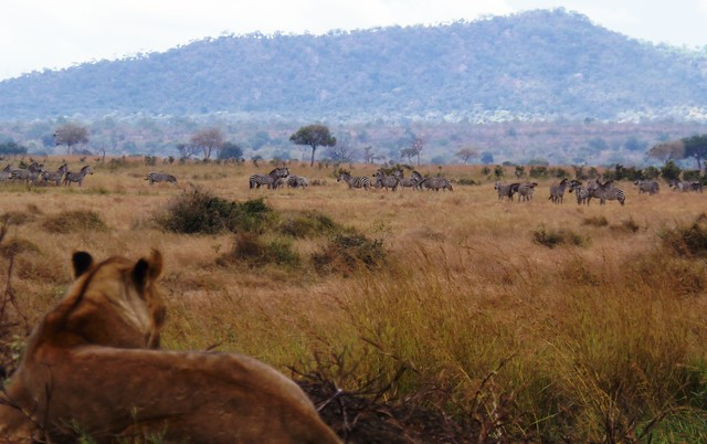 A Lioness resting at the edge of a dam in Mikumi National park while over looking her next possible meal, Zebra.