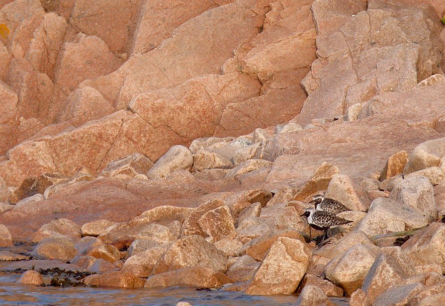 Grey Plovers, Red Granite