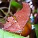 Borboleta folha seca by Tony Borrach
