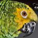Papagaio 003