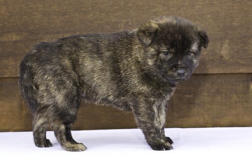 Nori-Litter2-30Days-Puppy1(male)c