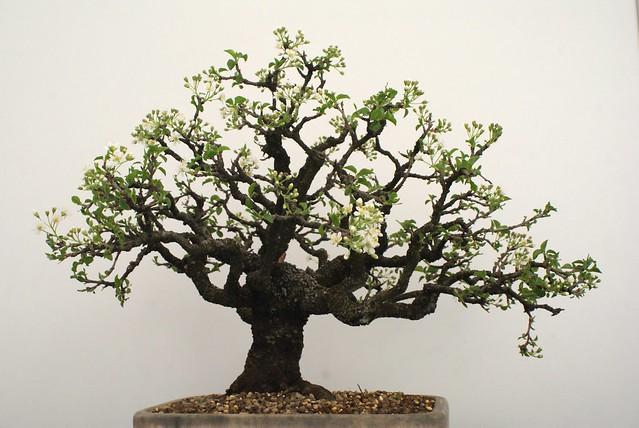 Un bonsai de cerisier en fleur.