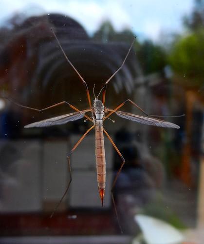 Crane Fly DSCN3475