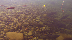Counting Fish on the Salmon River