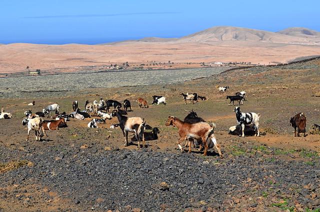 Goats, Fuerteventura