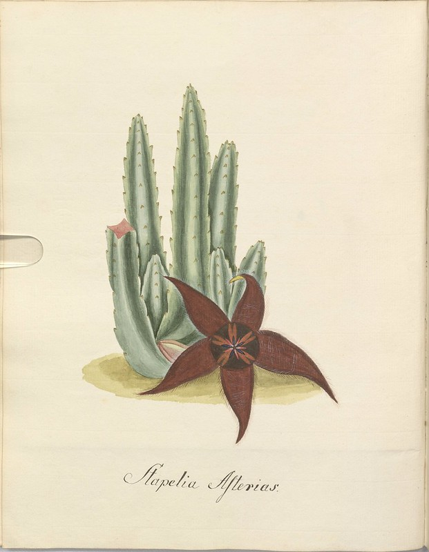 Strapelia illustration