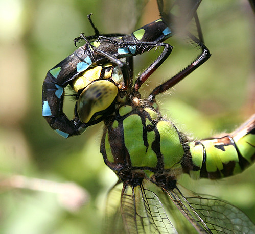 Southern Hawker Aeshna cyanea Tophill Low NR, East Yorkshire