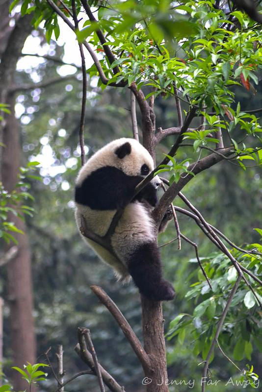 Panda cub sleeping in a tree