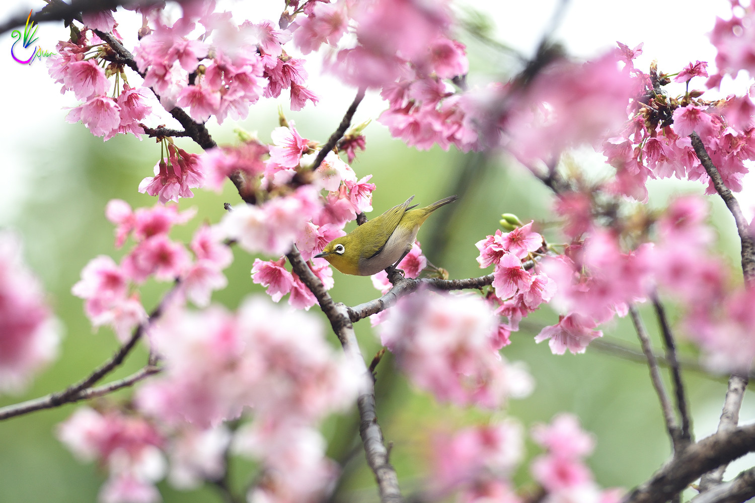 Sakura_White-eye_4834
