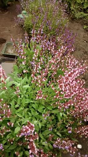 sage flowering June 14
