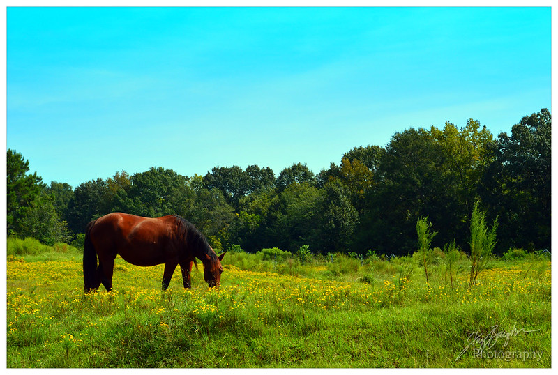 Brown Horse Yellow Field