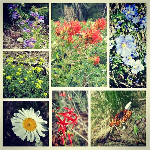 Just some of the mountain wildflowers blooming in the Tahoe forest in June.  #summer #flowers #tahoe #nature #woods #wild