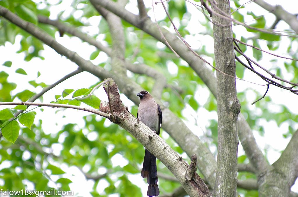 樹鵲@大安森林公園