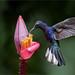 Violet Sabrewing by Raymond J Barlow