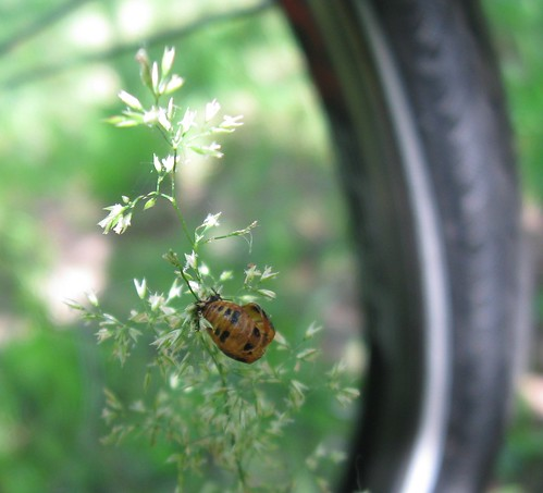 Ladybird pupa with bike, Tower Hill State Park