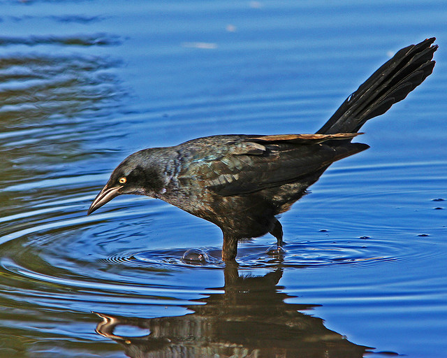 Great-Tailed Grackle_8750
