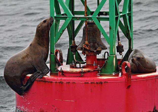 Steller's Sea Lions 20140617