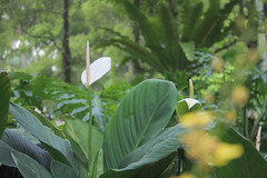 Soft orchid, Botanical Gardens, Singapore