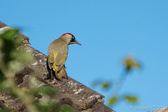 140625-DSC03374 Green Woodpecker Laurel Cottage Inkberrow Worcestershire.jpg
