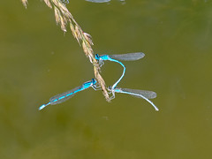animal(0.0), dew(0.0), flower(0.0), branch(0.0), leaf(0.0), water(0.0), moisture(0.0), plant stem(0.0), damselfly(1.0), dragonfly(1.0), dragonflies and damseflies(1.0), wing(1.0), macro photography(1.0), flora(1.0), fauna(1.0), close-up(1.0),